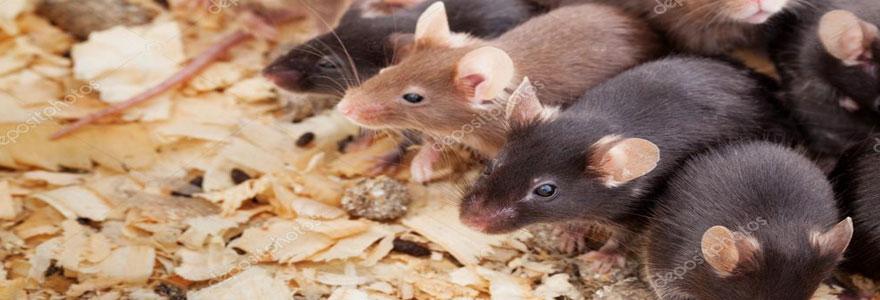 se débarrasser définitivement des rats
